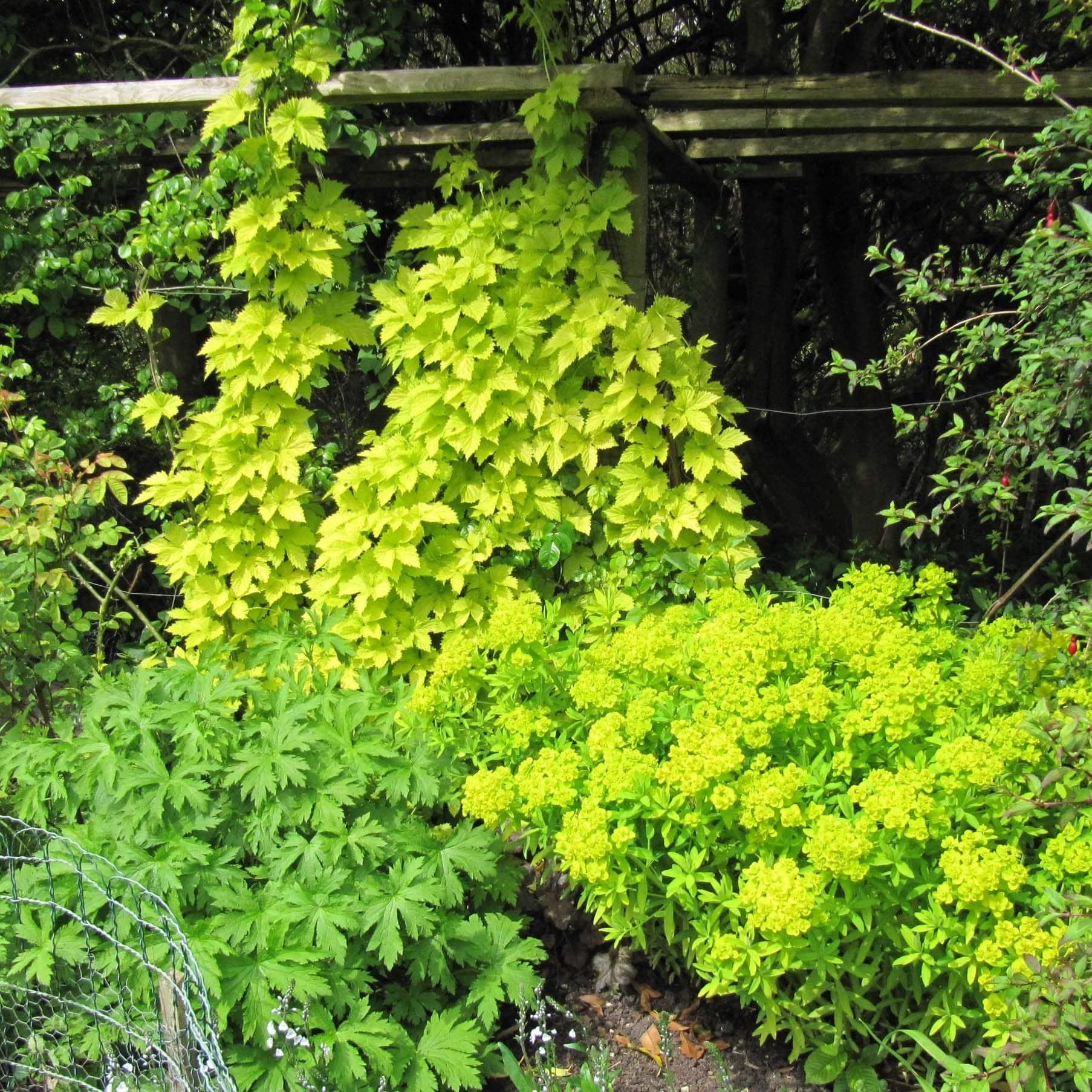 Planter le houblon doré