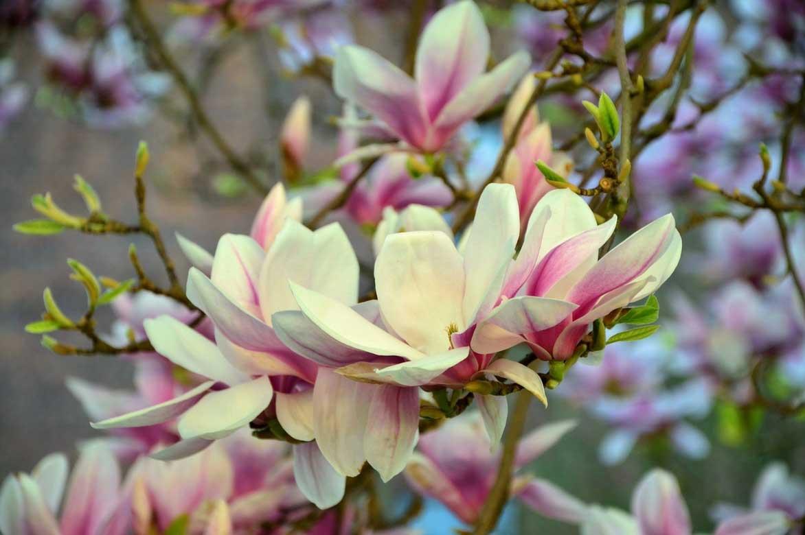 Le Magnolia pour avoir de l'ombre dans son jardin